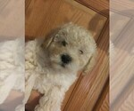 Puppy 5 Goldendoodle-Poodle (Miniature) Mix