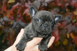 Faux Frenchbo Bulldog Puppy For Sale in MARYSVILLE, WA