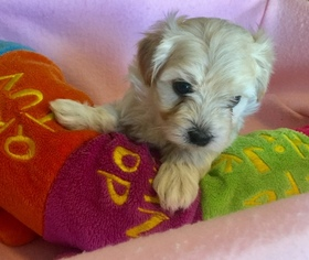 Maltipoo Puppy For Sale in DUPONT, WA, USA