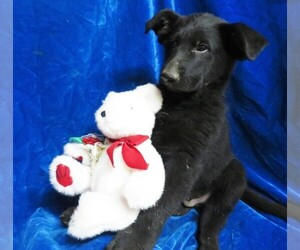 German Shepherd Dog Puppy for sale in GROVESPRING, MO, USA
