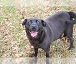 Small #297 Labrador Retriever