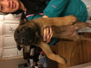 Belgian Malinois Puppy For Sale in EMERYVILLE, CA