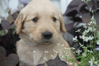 Golden Retriever Puppy For Sale in MEDIAPOLIS, IA, USA