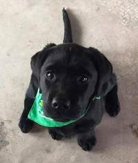 Labrador Retriever Puppy For Sale in WURTSBORO, NY