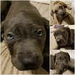 Cane Corso Puppy For Sale in HYATTSVILLE, MD,