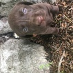 PureBred Labrador Retriever puppies