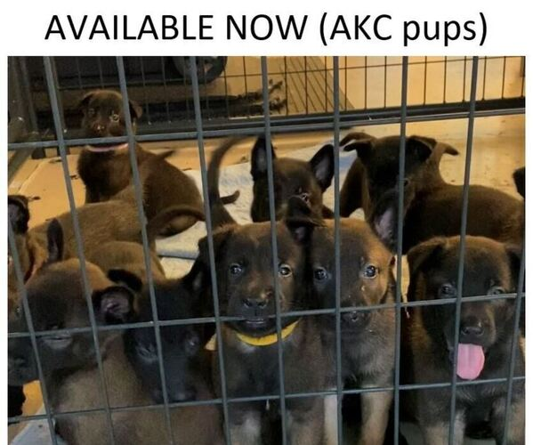 Medium Photo #1 Belgian Malinois Puppy For Sale in LABADIE, MO, USA