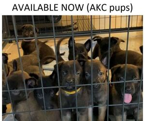 Belgian Malinois Puppy for sale in LABADIE, MO, USA