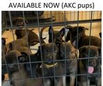 Small Photo #1 Belgian Malinois Puppy For Sale in LABADIE, MO, USA