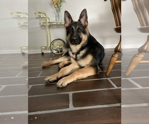 German Shepherd Dog Puppy for sale in WOONSOCKET, RI, USA