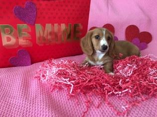 Dachshund Puppy For Sale in ELIZABETH CITY, NC, USA