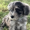 Miniature Bernedoodle Puppy For Sale in SAINT CHARLES, MI, USA