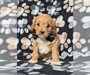 Cock-A-Poo Puppy for sale in KIRKWOOD, PA, USA