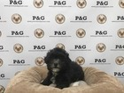 Maltese-Poodle (Toy) Mix Puppy For Sale in TEMPLE CITY, CA