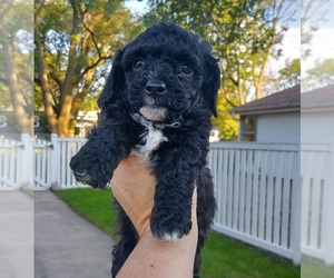 Havanese Puppy for Sale in VILLA PARK, Illinois USA
