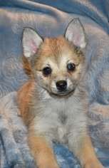Alaskan Klee Kai-Pomeranian Mix Puppy For Sale in AUMSVILLE, OR, USA