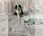 Puppy 8 Bordernese
