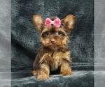Puppy 2 Yorkshire Terrier