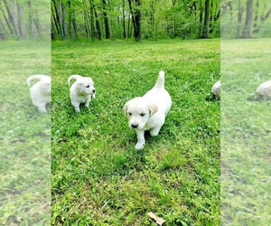 English Cream Golden Retriever Puppy for Sale in DAWSONVILLE, Georgia USA