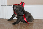 French Bulldog Puppy For Sale in KNOB NOSTER, MO