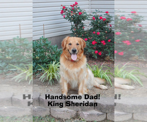Father of the Golden Retriever puppies born on 05/13/2019