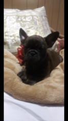 French Bulldog Puppy for Sale in HAMDEN, Connecticut USA