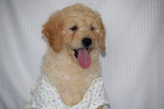 Golden Doodle Mix Puppy For Sale in SUGARCREEK, OH, USA