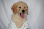 Golden Retriever-Poodle (Miniature) Mix Puppy For Sale in SUGARCREEK, OH, USA