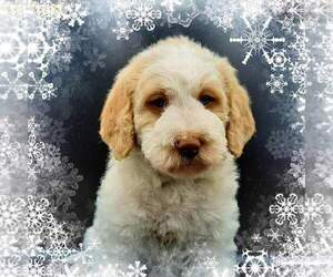 Labradoodle-Poodle (Standard) Mix Puppy for Sale in MILLVILLE, Minnesota USA