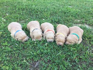 Golden Retriever Puppy for sale in RICHLAND, MO, USA