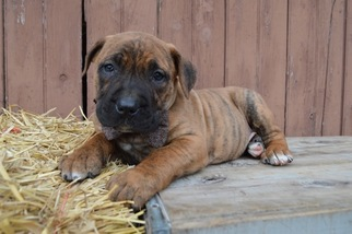Boerboel Puppy For Sale in HONEY BROOK, PA, USA