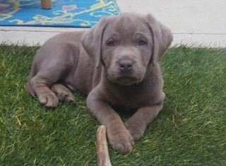 Labrador Retriever Puppy For Sale in COLUMBUS, OH