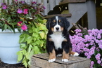 Bernese Mountain Dog Puppy For Sale in FREDERICKSBURG, OH,