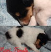 Collie Puppy For Sale in STEELVILLE, MO