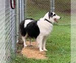 Small #34 Border Collie Mix