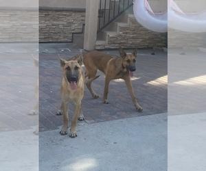 Belgian Malinois Puppy for sale in LA HABRA, CA, USA