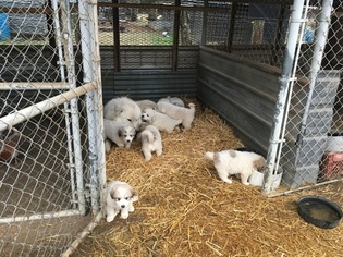 Great Pyrenees Puppy For Sale in BRADFORD, AR, USA
