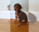 Puppy 2 Doberman Pinscher