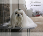 Small #4 Maltese