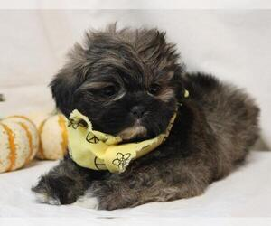 Lhasa Apso Puppy for sale in ORO VALLEY, AZ, USA