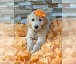 Goldendoodle Dog for Adoption in KISSIMMEE, Florida USA