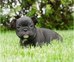 Puppy 10 French Bulldog