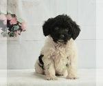 Puppy 4 Schnoodle (Miniature)