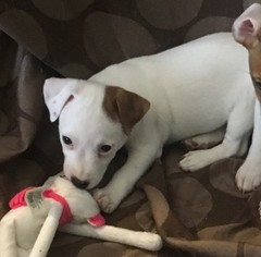 Jack Russell Terrier Puppy for sale in LAS VEGAS, NV, USA