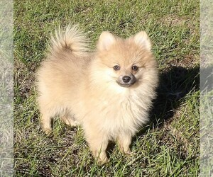 Pomeranian Puppy for sale in CASSVILLE, MO, USA