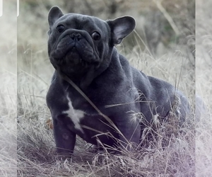Father of the French Bulldog puppies born on 06/24/2019