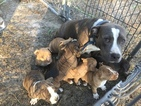 American Bully Puppy For Sale in MAYO, Florida,