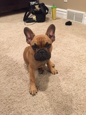 French Bulldog Puppy For Sale in OREGON, WI, USA