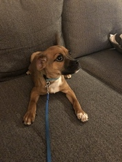 Puggle Puppy for sale in HERNDON, VA, USA