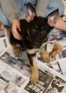 German Shepherd Dog Puppy For Sale in MADISON, Florida,